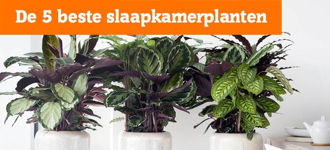 De 5 beste Slaapkamerplanten